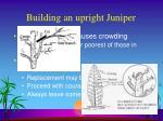 building an upright juniper28