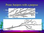 prune junipers with a purpose26