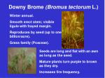 downy brome bromus tectorum l