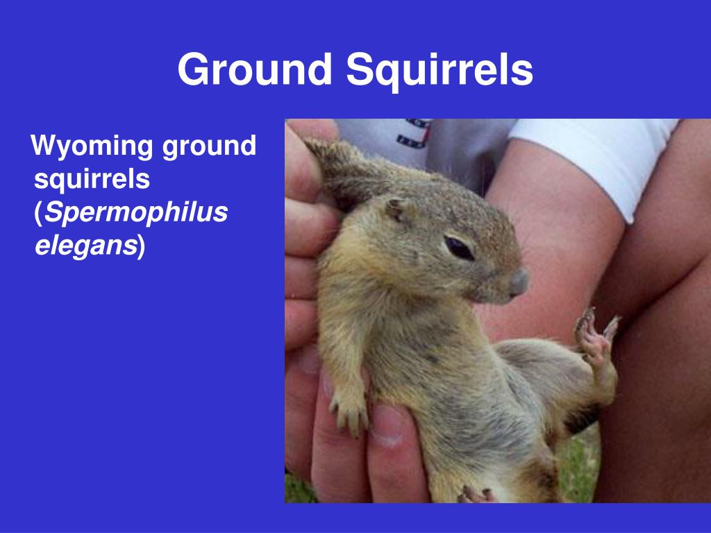 Wyoming ground squirrels (