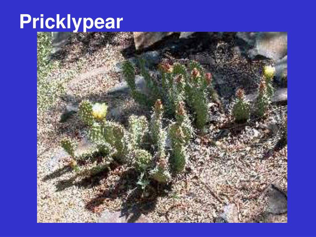 Pricklypear