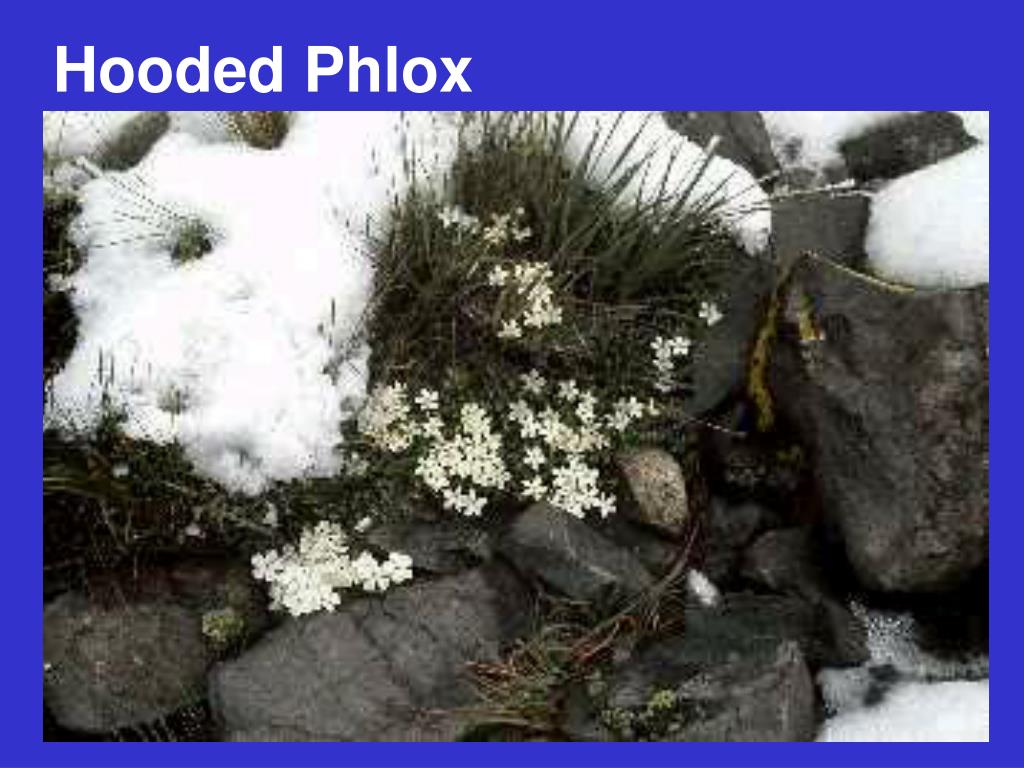 Hooded Phlox
