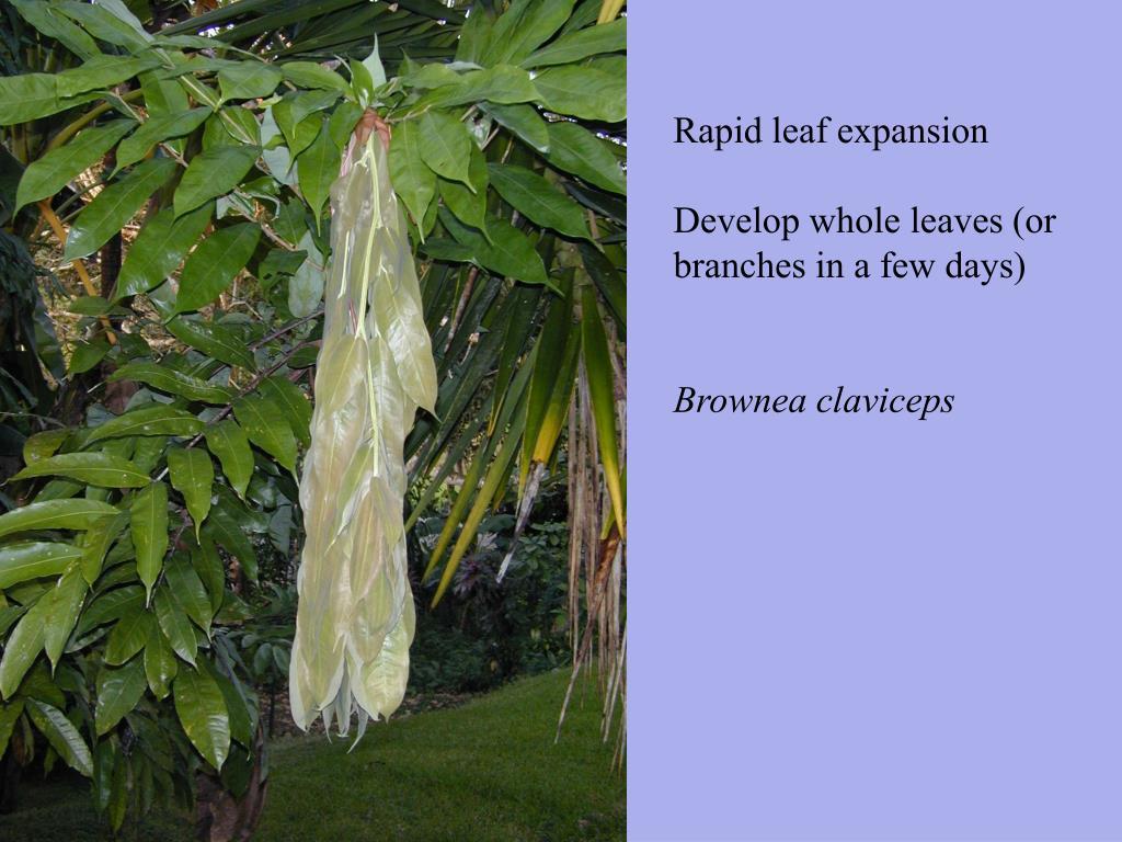 Rapid leaf expansion
