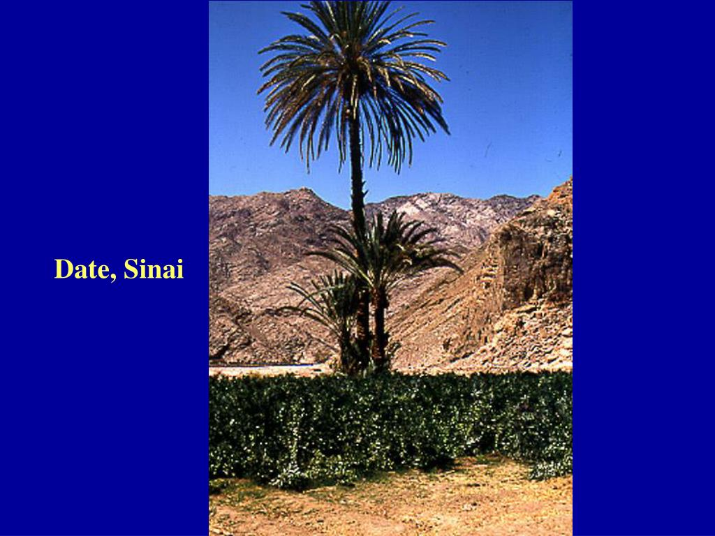 Date, Sinai