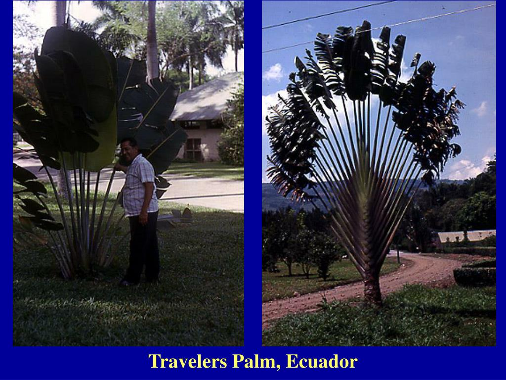 Travelers Palm, Ecuador