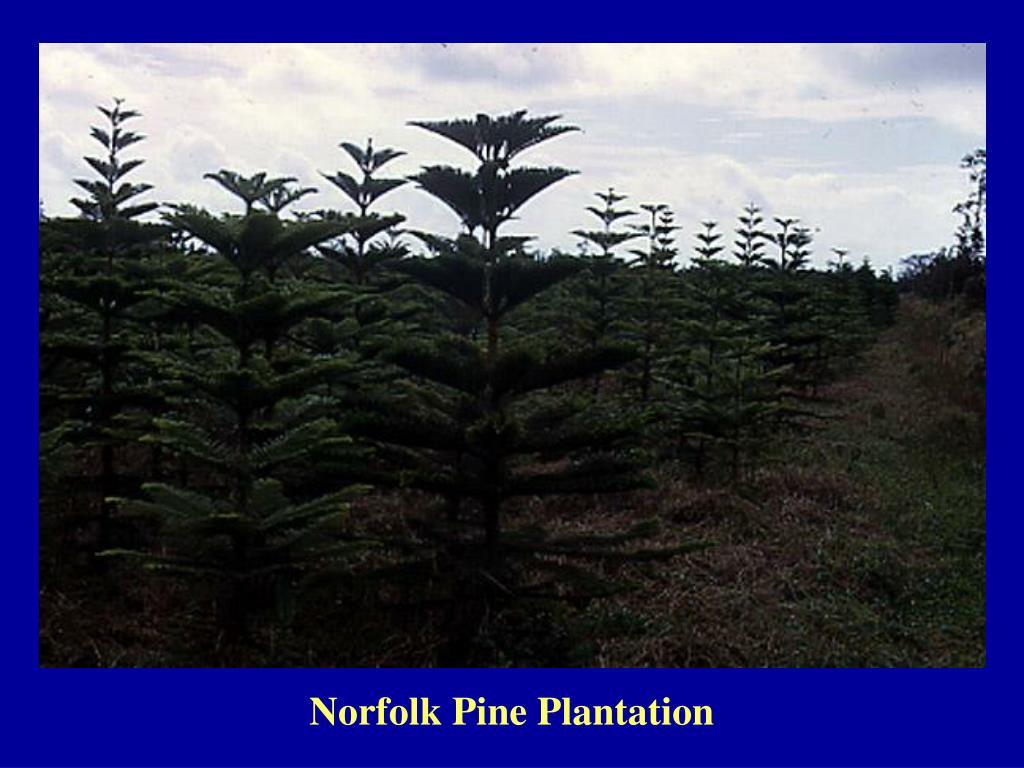 Norfolk Pine Plantation