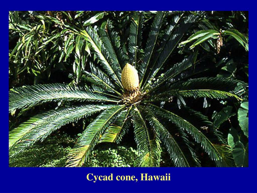 Cycad cone, Hawaii