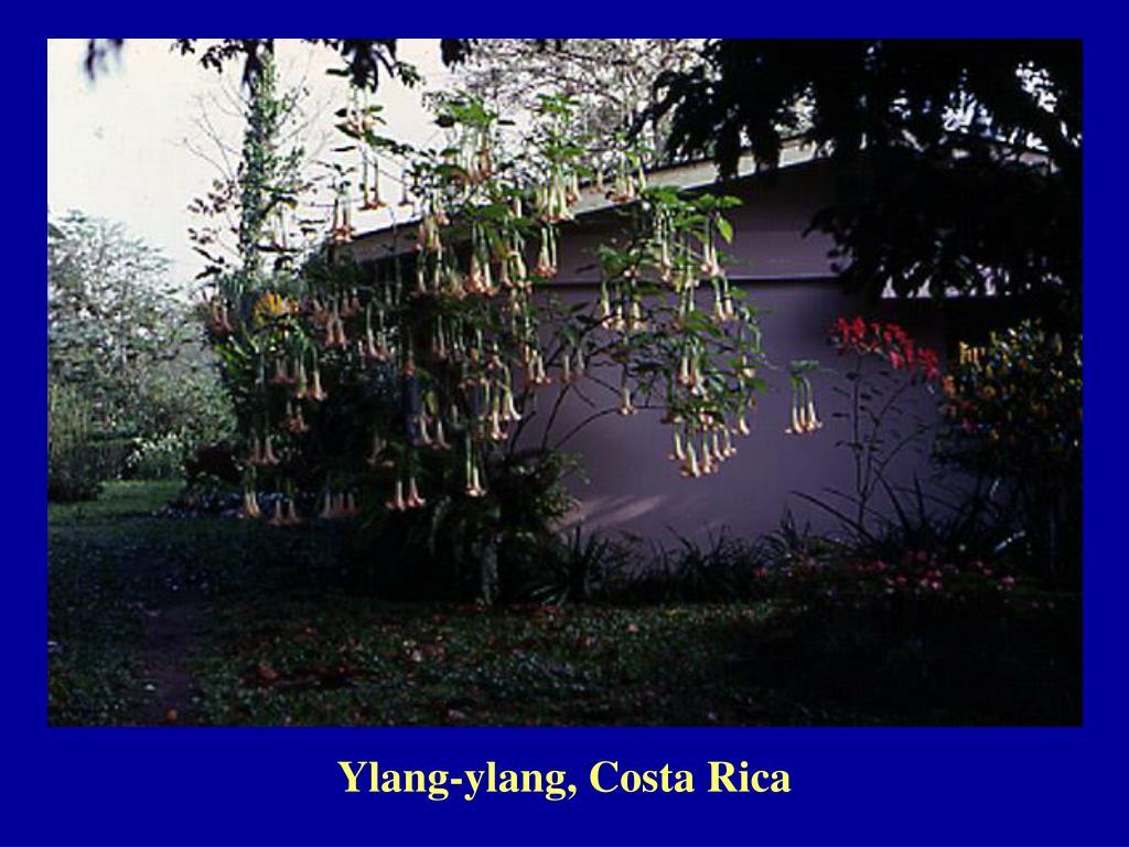 Ylang-ylang, Costa Rica
