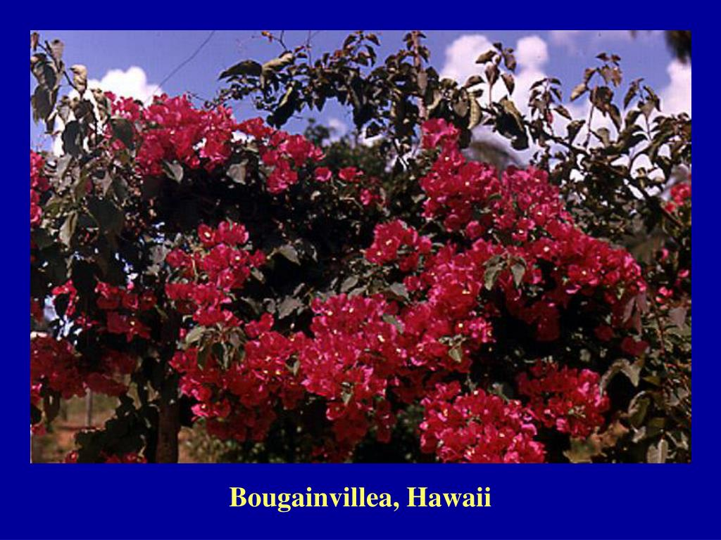 Bougainvillea, Hawaii