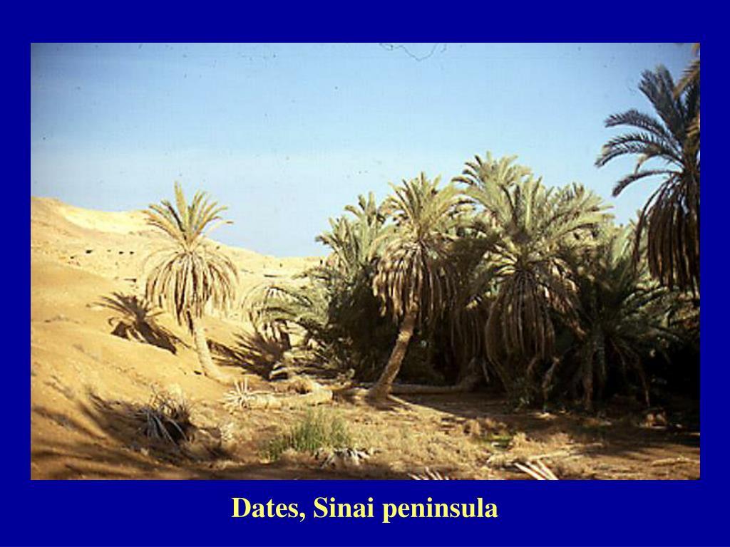 Dates, Sinai peninsula
