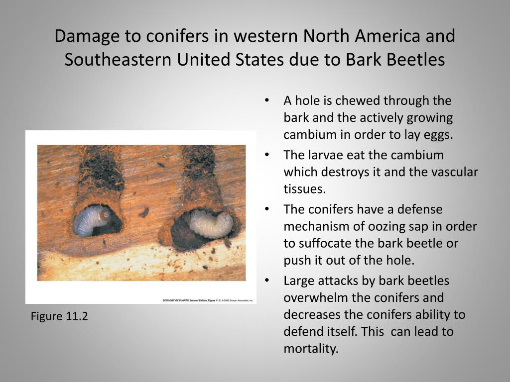 Damage to conifers in western North America and Southeastern United States due to Bark Beetles