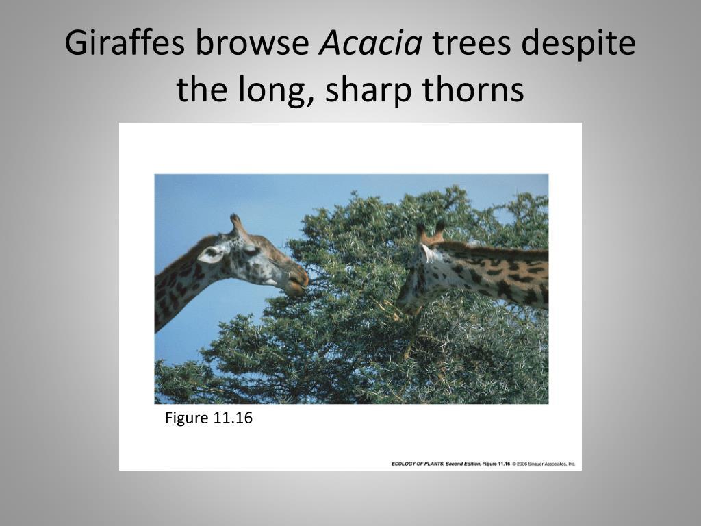 Giraffes browse