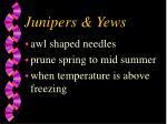 junipers yews