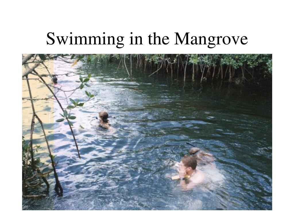 Swimming in the Mangrove