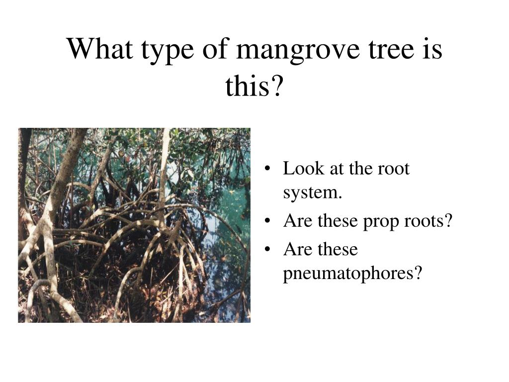 What type of mangrove tree is this?