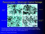 ravuconazole micafungin hyphal damage
