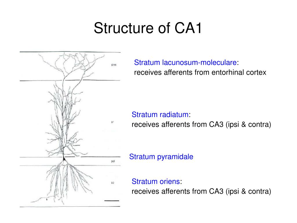 Structure of CA1