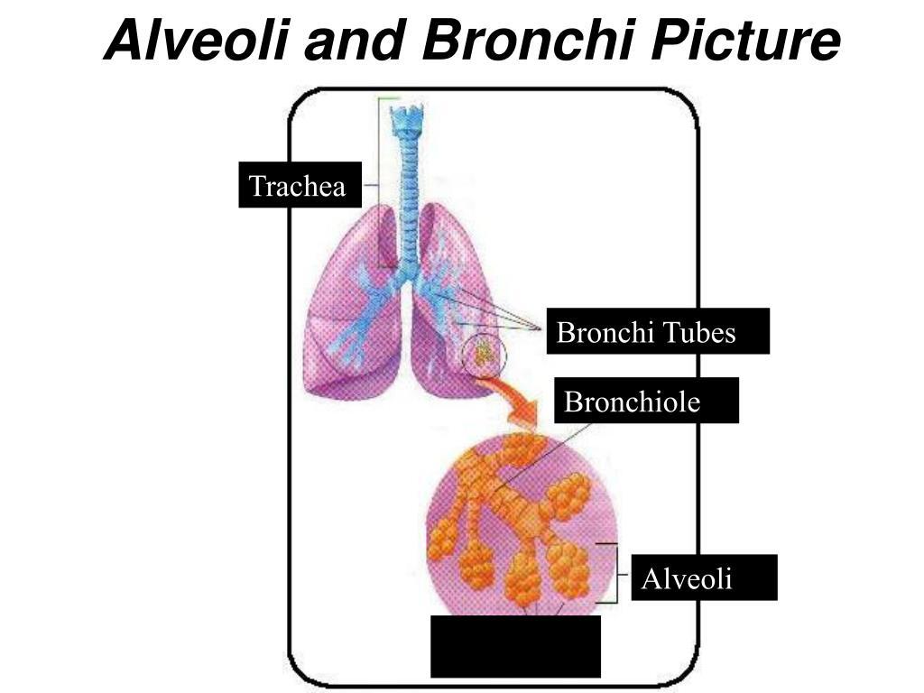 Alveoli and Bronchi Picture