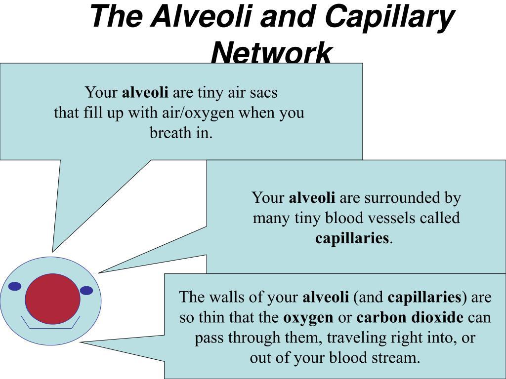 The Alveoli and Capillary Network