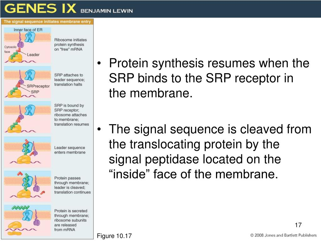 Protein synthesis resumes when the SRP binds to the SRP receptor in the membrane.