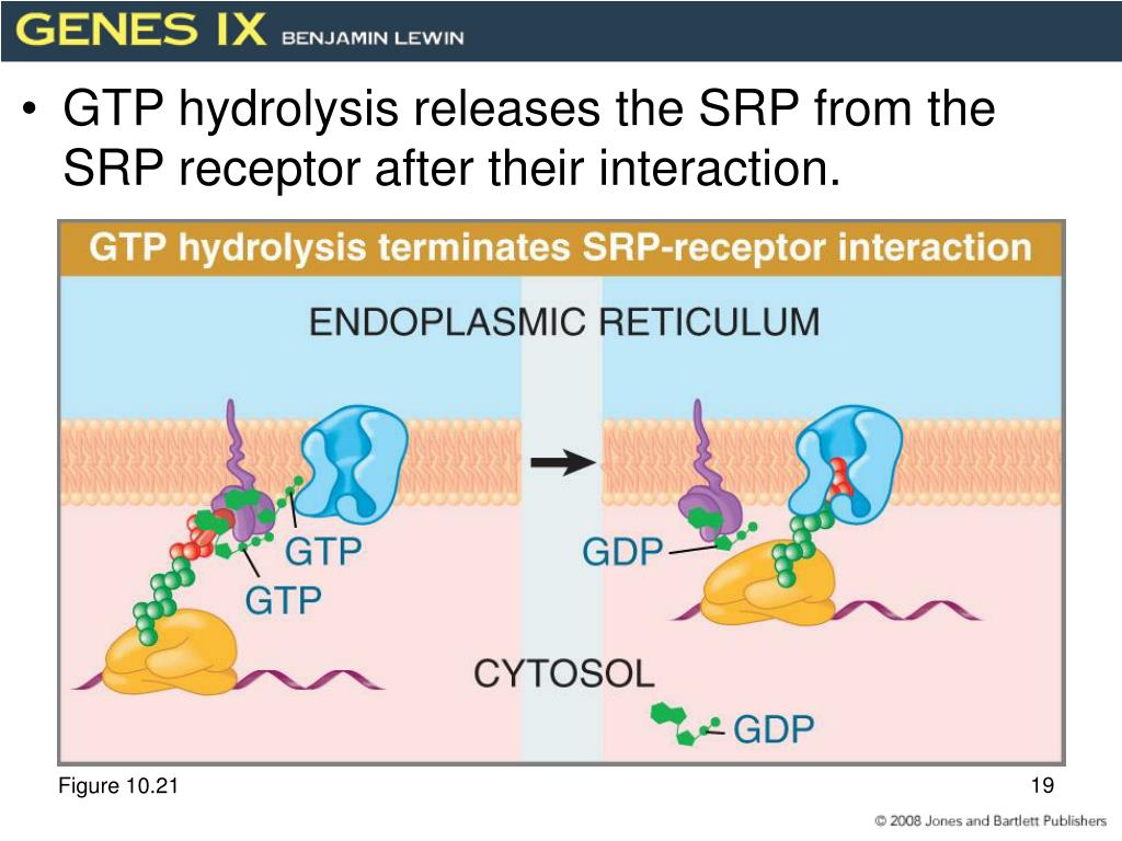 GTP hydrolysis releases the SRP from the SRP receptor after their interaction.