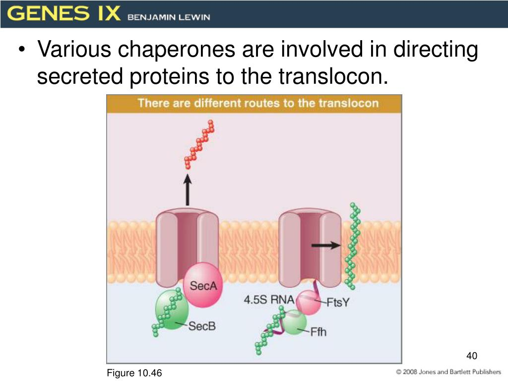 Various chaperones are involved in directing secreted proteins to the translocon.