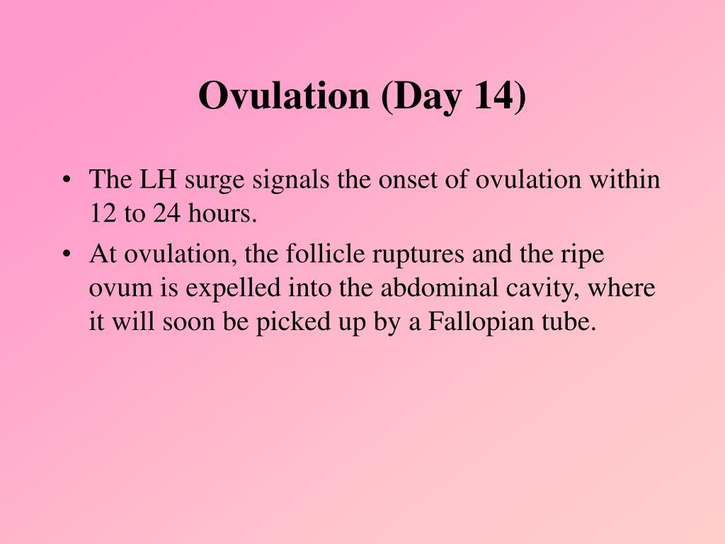 Ovulation (Day 14)