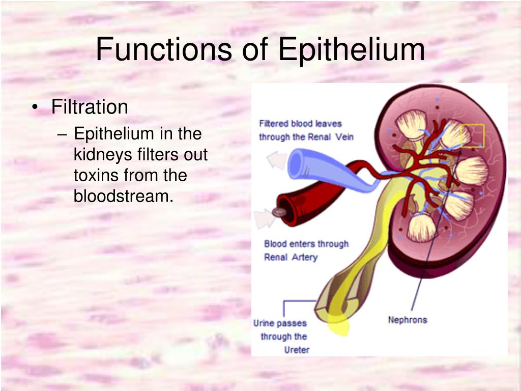 Functions of Epithelium