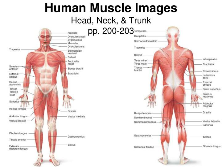 human muscle images head neck trunk pp 200 203 n.