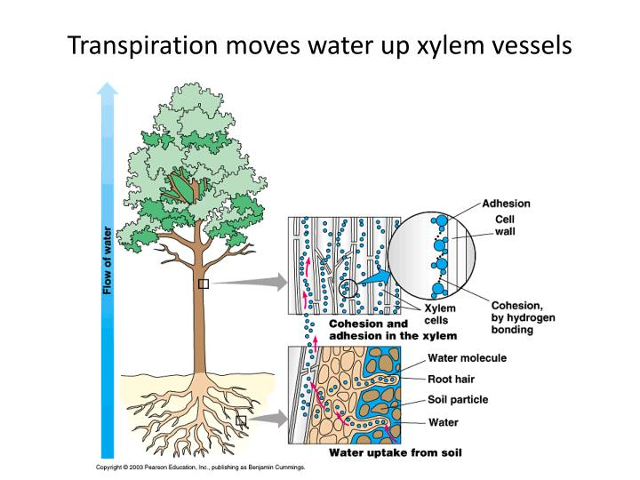 an analysis of the functions of the xylem vessel Xylem definition xylem is a type of tissue in vascular plants that transports water  and some nutrients from the roots to the leaves phloem is the other type of.