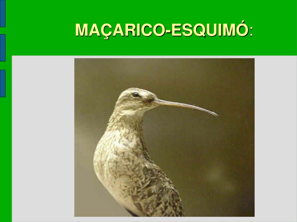MAÇARICO-ESQUIMÓ