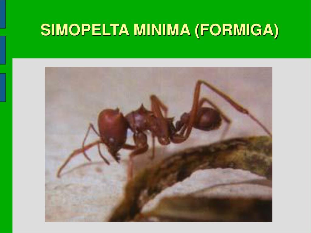 SIMOPELTA MINIMA (FORMIGA)