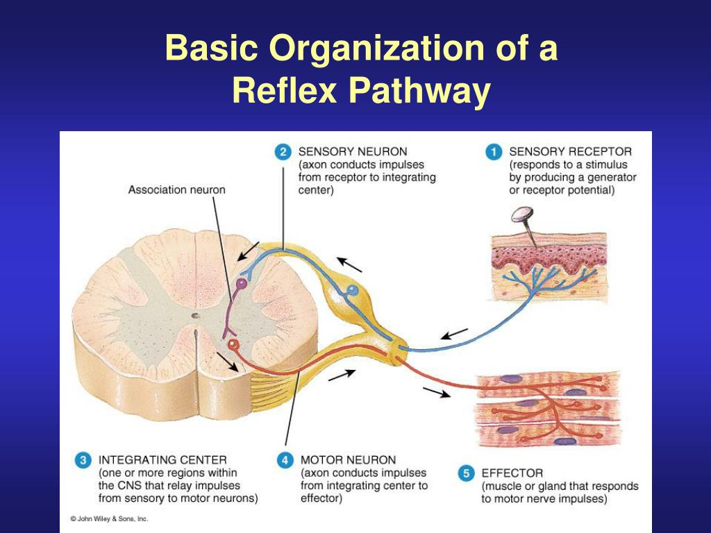 PPT - Gross Anatomy of the Spinal Cord PowerPoint ...