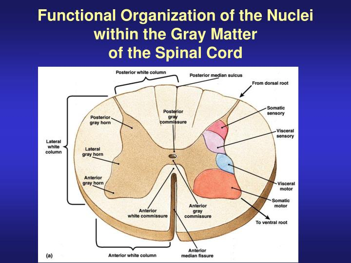 PPT - Gross Anatomy of the Spinal Cord PowerPoint Presentation - ID ...