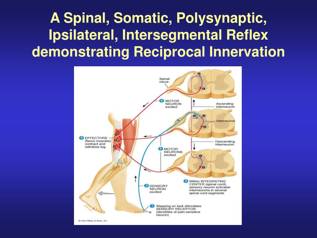 Ppt Gross Anatomy Of The Spinal Cord Powerpoint