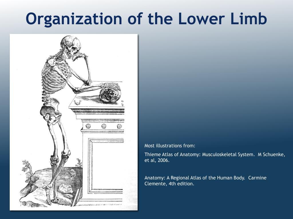 organization of the lower limb l.