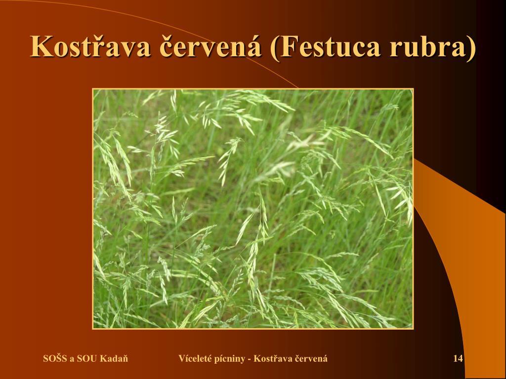 Kostřava červená (Festuca rubra)