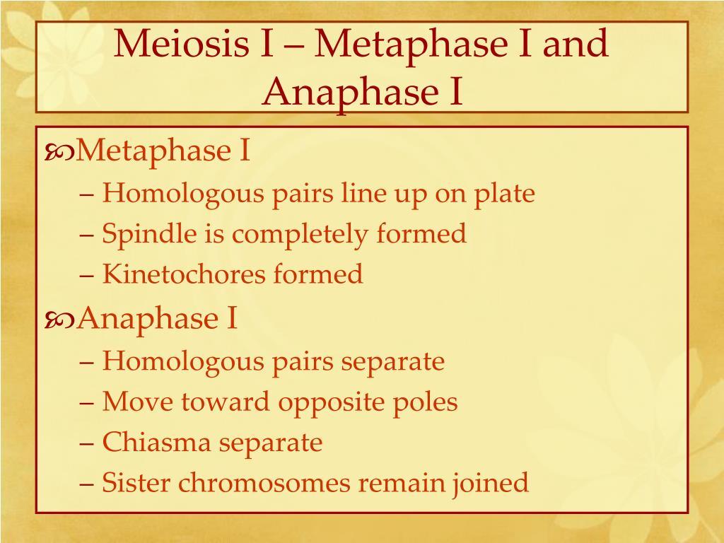 Meiosis I – Metaphase I and Anaphase I