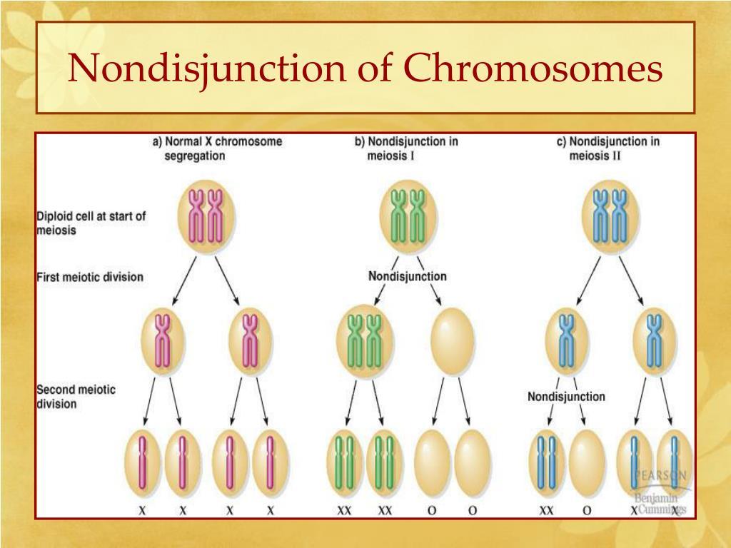 Nondisjunction of Chromosomes