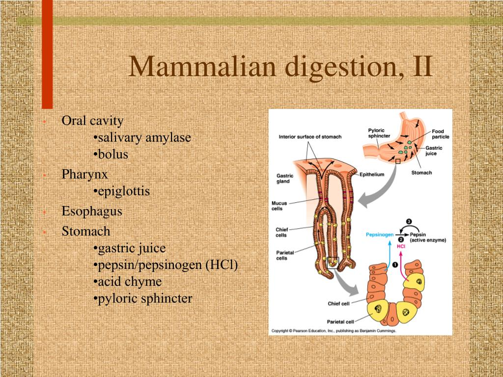 Mammalian digestion, II