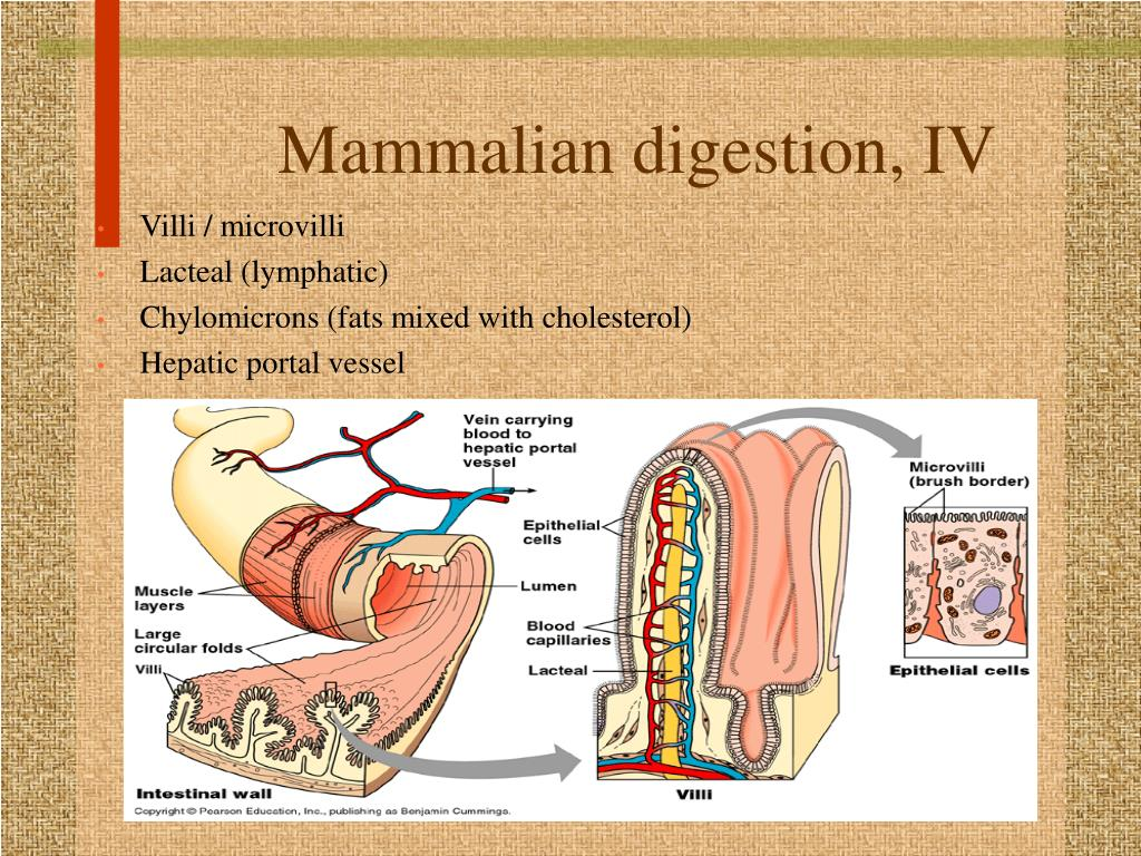 Mammalian digestion, IV