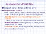 bone anatomy compact bone