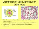distribution of vascular tissue in plant roots