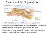 anatomy of the organ of corti