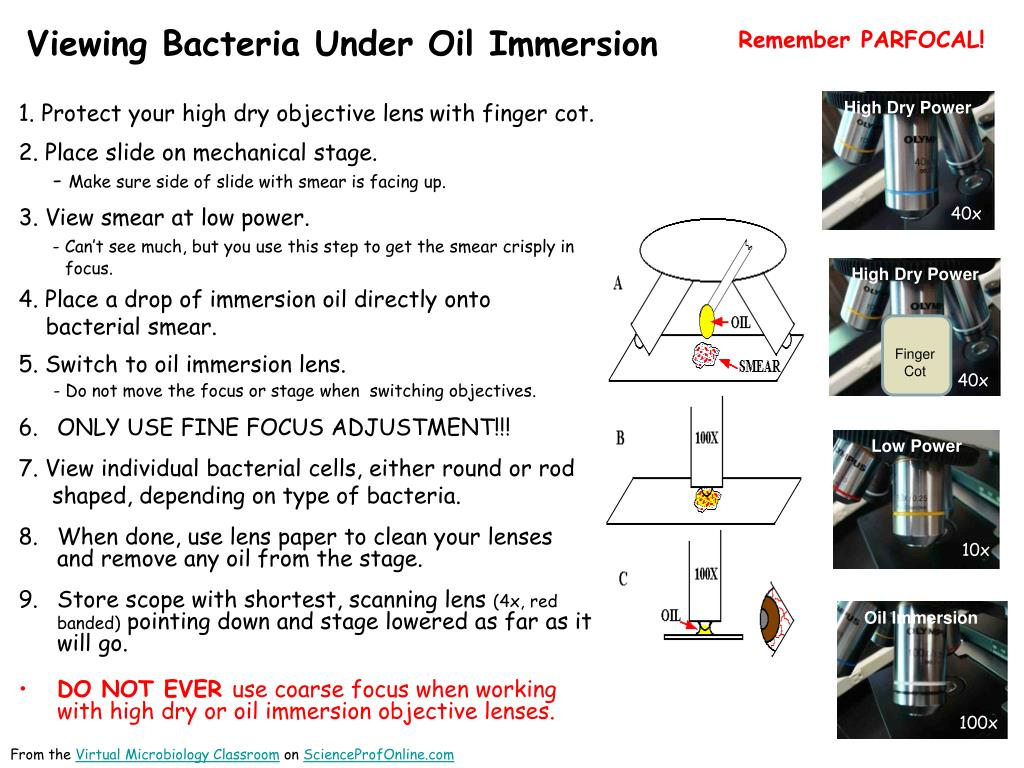 viewing bacteria under oil immersion l.
