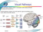 visual pathways4