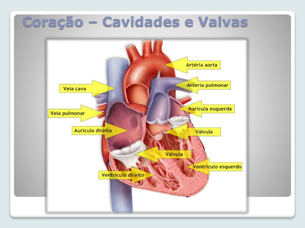 Coração – Cavidades e Valvas