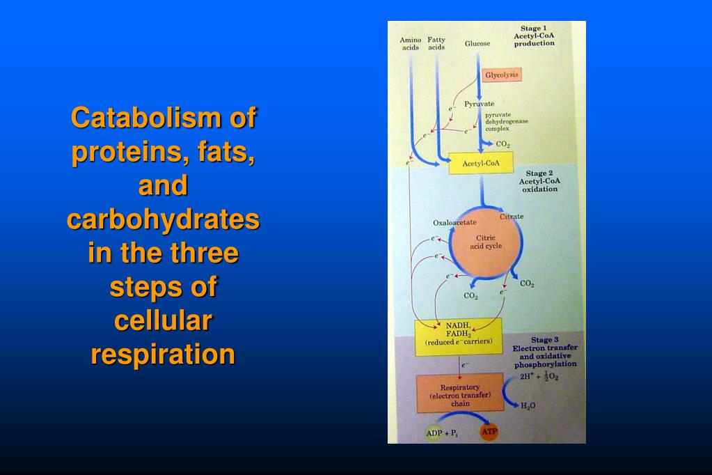 Catabolism of proteins, fats, and carbohydrates in the three steps of cellular respiration