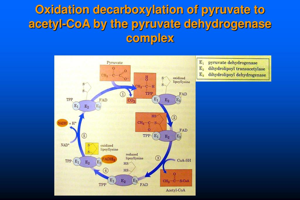 Oxidation decarboxylation of pyruvate to acetyl-CoA by the pyruvate dehydrogenase complex