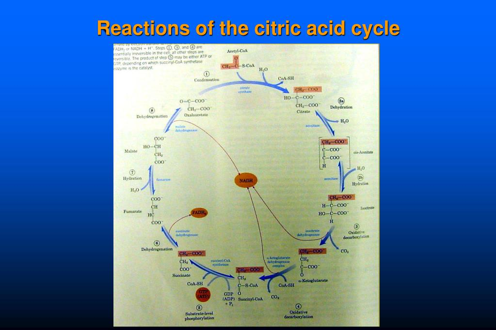 Reactions of the citric acid cycle